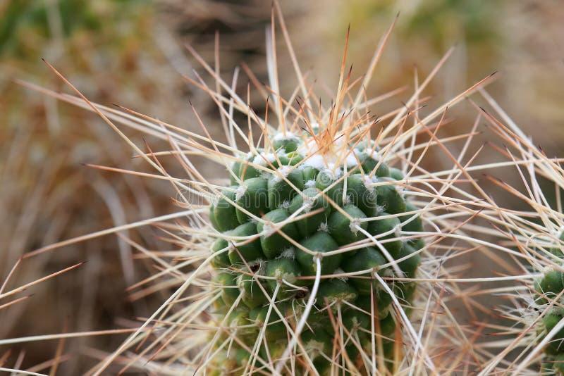 Crecimiento del cactus de espinas largas imagenes de archivo
