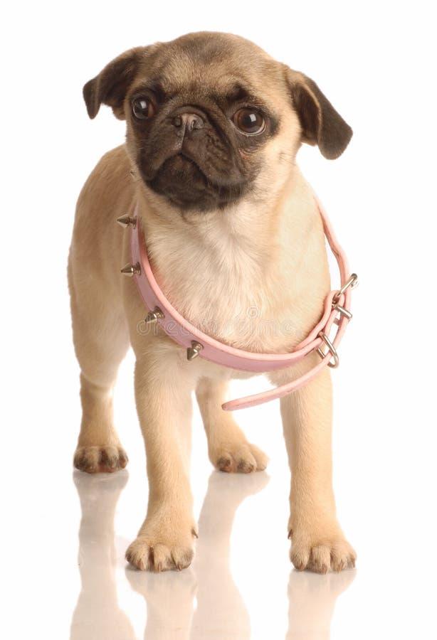 Download Crecimiento del perrito imagen de archivo. Imagen de pampered - 7284645
