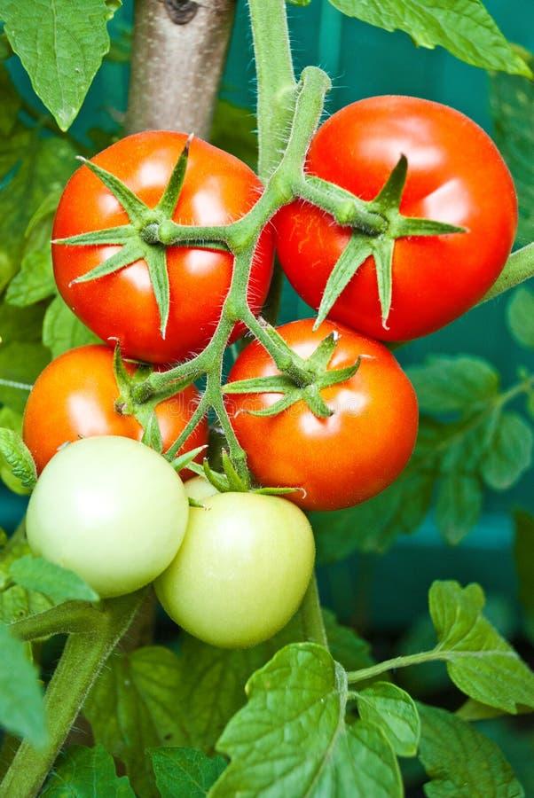 Crecimiento del tomate fotos de archivo