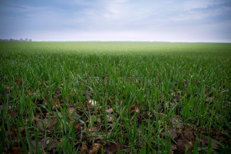 Crecimiento del trigo en campo fotos de archivo libres de regalías