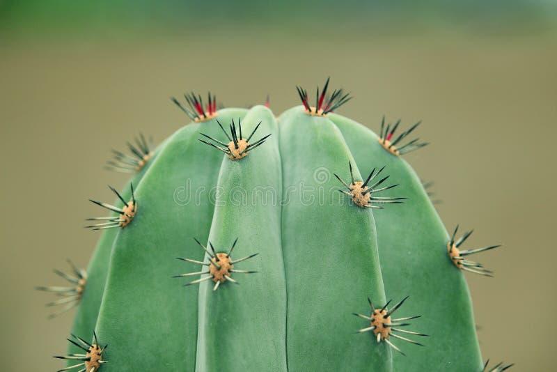 Crecimiento fresco en el cactus fotografía de archivo