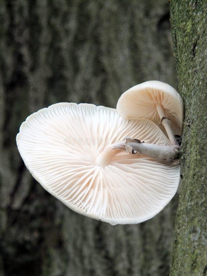 Crecimiento fungoso de la porcelana en un árbol de haya en otoño imagen de archivo