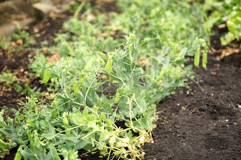Crecimiento joven de las plantas de guisante verde imagen de archivo