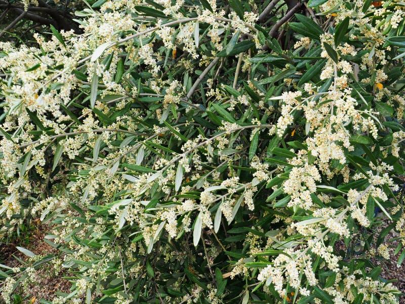 Crecimiento numeroso Olive Tree Flowers de la primavera imágenes de archivo libres de regalías