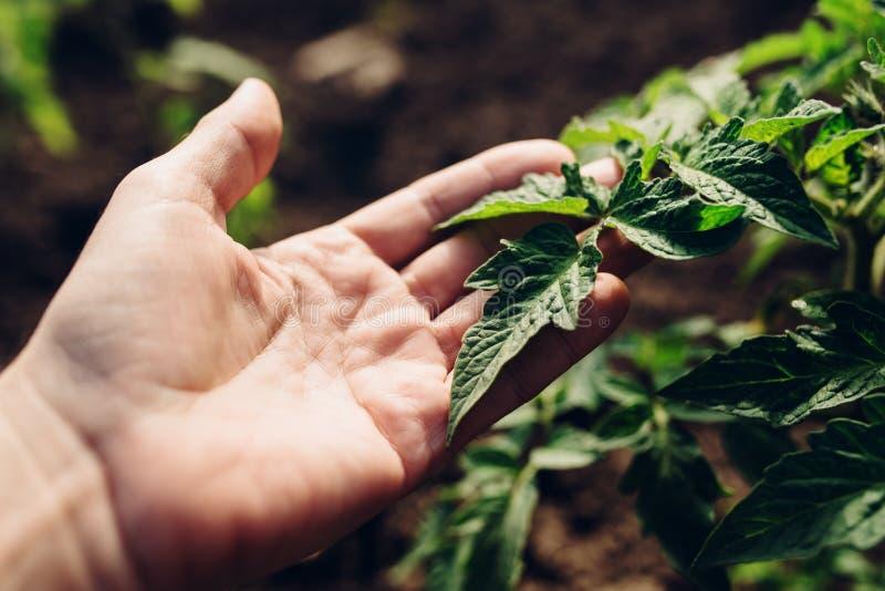 Crecimiento que controla del granjero de las plantas de tomate en huerto foto de archivo libre de regalías