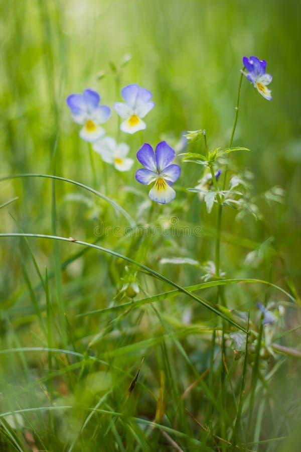 Download Crecimiento Tricolor De La Viola De Los Wildflowers En Hierba Gruesa Foto de archivo - Imagen de facilidad, crecimiento: 42442224