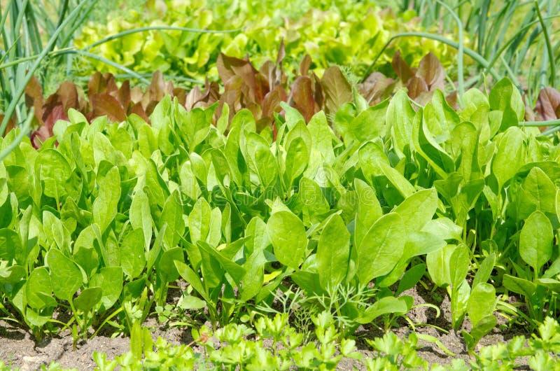 Crecimiento vegetal de la espinaca en el jardín foto de archivo libre de regalías