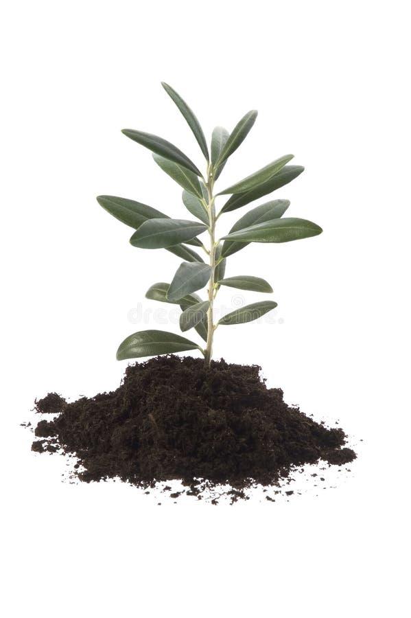 Crecimiento verde oliva en suelo imagen de archivo