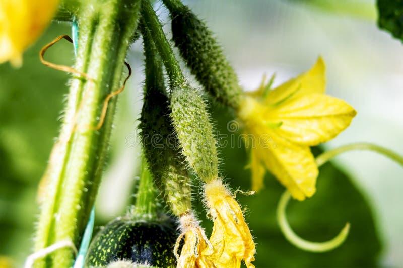 Crecimiento y floraci?n de los pepinos del invernadero, alimento biol?gico cada vez mayor Pepinos florecientes jovenes en rama en fotos de archivo libres de regalías
