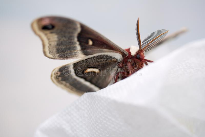 Download Crecropia moth stock image. Image of inch, wingspan, six - 29012703