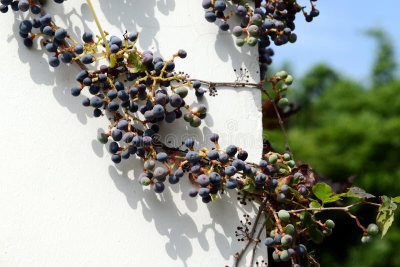 Creeper Вирджинии на стене стоковое фото