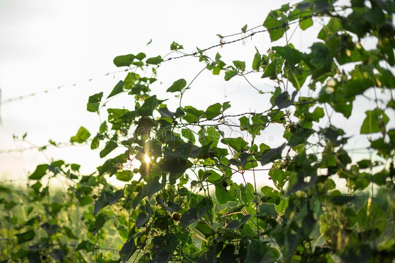 Creeper on barbed wire with warm light. On blurred background royalty free stock photos