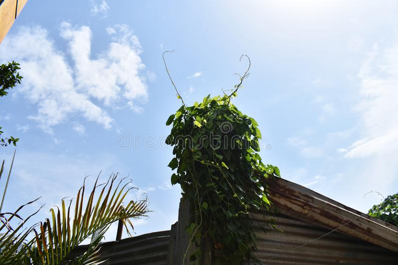 CREEPER PLANT AND THE SKY royalty free stock photography