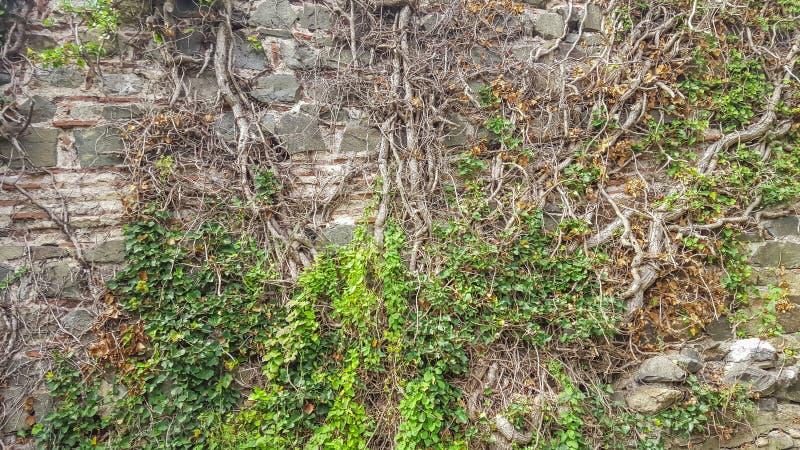 Creeper on an old brick wall stock photo
