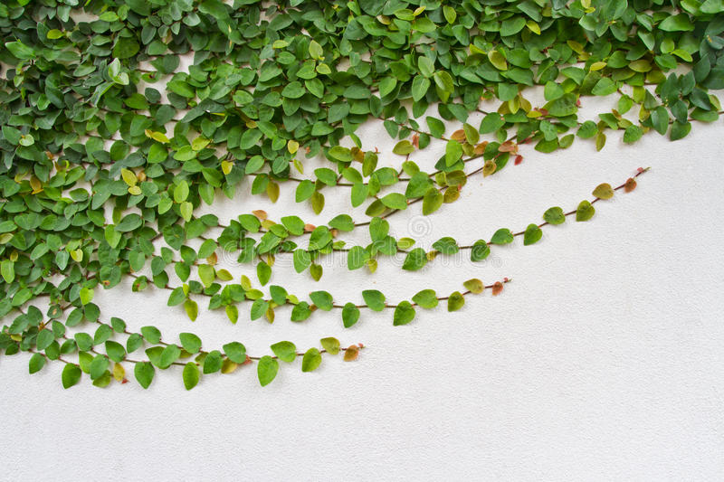 Creeper plant growing on white wall. Can use as background royalty free stock image