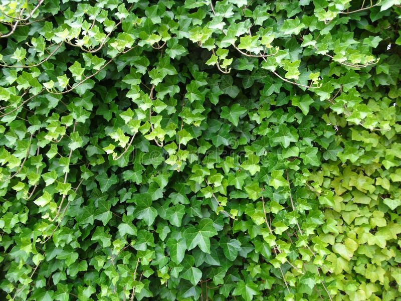 Creeper plant royalty free stock images