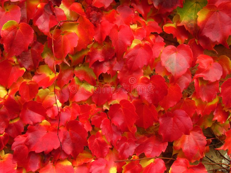 Creeper plant Parthenocissus tricuspidata in fall, vivid red and yellow colors, natural texture, close-up, boston ivy. Creeper Parthenocissus tricuspidata in stock photo