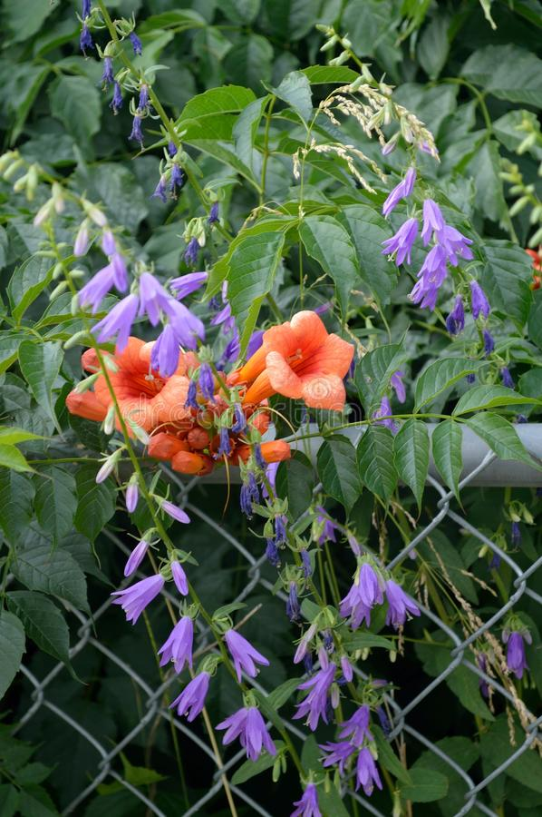 Download Creeping Bellflower And Trumpet Vine Stock Image - Image of chainlink, erect: 105488125