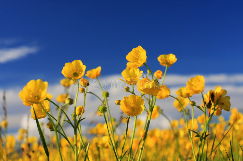 Download Creeping buttercup stock photo. Image of field, concept - 5968488