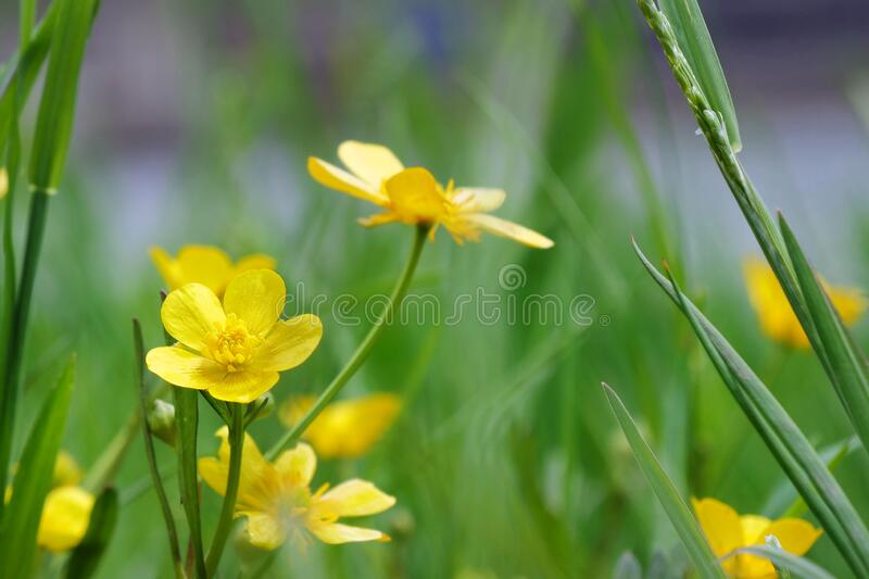 Creeping buttercup blooming in the garden - Ranunculus repens stock images