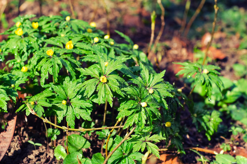 Creeping buttercup plants. Creeping buttercup flowers in the rain royalty free stock photo