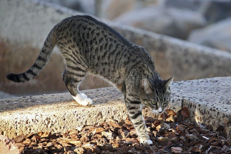 Creeping Cat Catastrophe. A feral tabby cat creeping along the seawall at Point Panic, island of O'ahu, Hawai'i. Millions of feral cats in Hawai'i daily pump stock photo