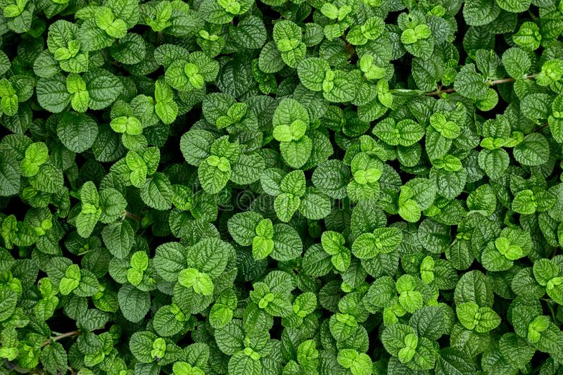 Creeping Charlie leaves background. Top view of Green Creeping Charlie leaves for background stock photos