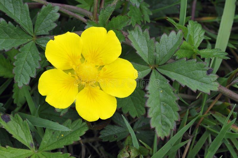 Creeping Cinquefoil. Potentilla reptans Single flower and leaves royalty free stock photos