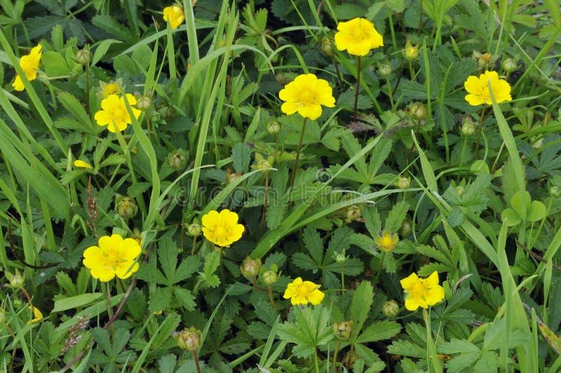 Creeping Cinquefoil. Flowers - Potentilla reptans stock photography