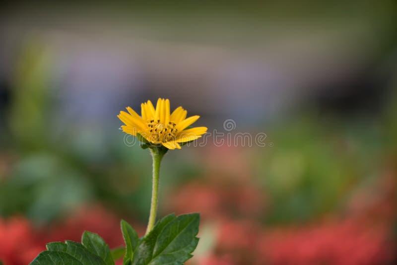 Creeping daisy stock images