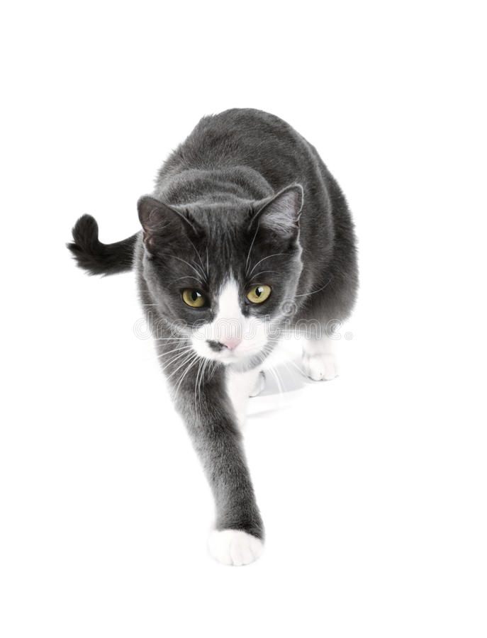 Creeping cat. Creeping grey cat, isolated on white royalty free stock photography