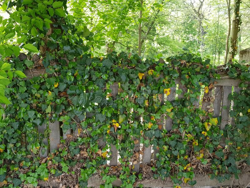 Creeping ivy. Green fence forest nature plant stock photography