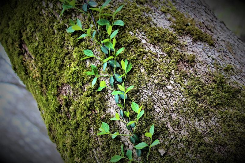 Creeping Ivy Vine. A creeping ivy vine growing up a tree royalty free stock photography