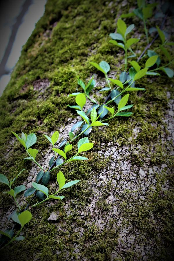 Creeping Ivy Vine. A creeping ivy vine growing up a tree royalty free stock photo