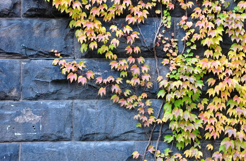 Creeping ivy. In wall textures and backgrounds royalty free stock photos
