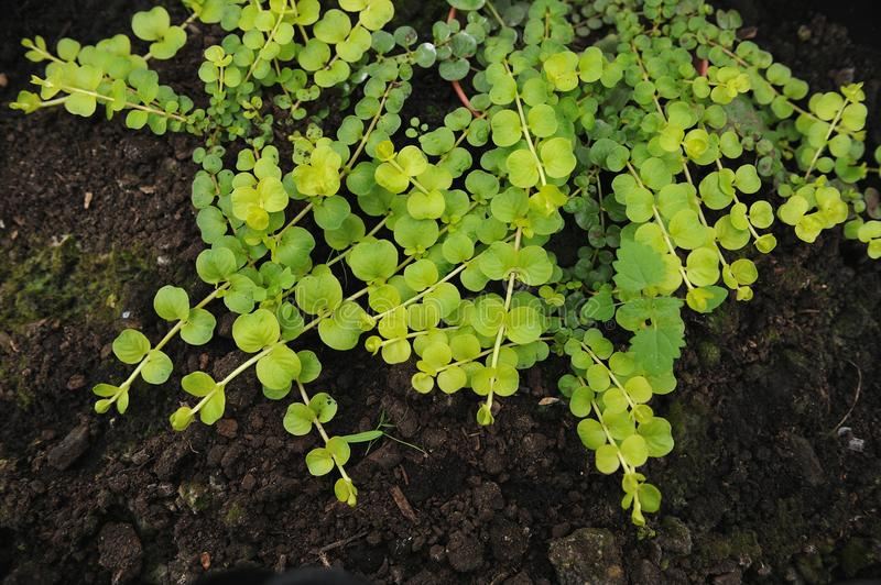 Creeping jenny. Lysimachia nummularia is a species of flowering plant in the family Primulaceae stock photo