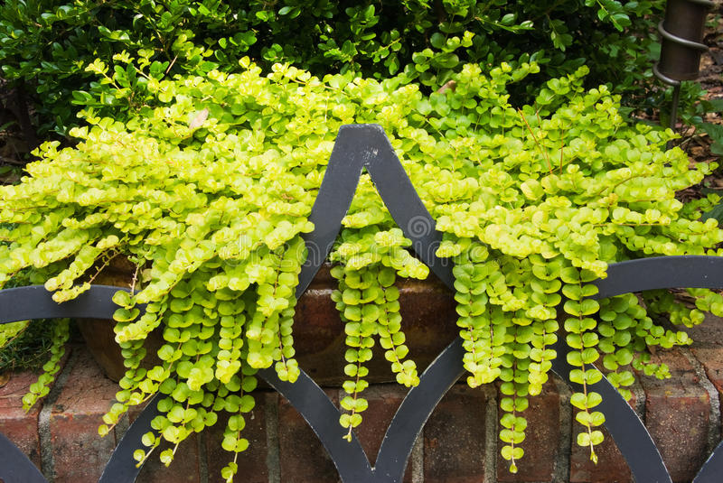 Creeping Jenny Lysimachia Aura Trailing Plant. Creeping Jenny lysimachia aura trailing stem plant growing out of garden pots over a brick wall and onto a wrought royalty free stock photo