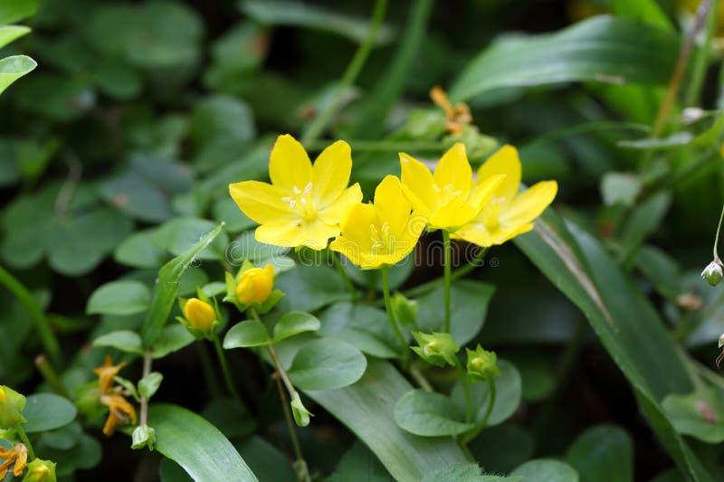 Creeping Jenny (Lysimachia nummularia). Flowers of a creeping jenny (Lysimachia nummularia royalty free stock images