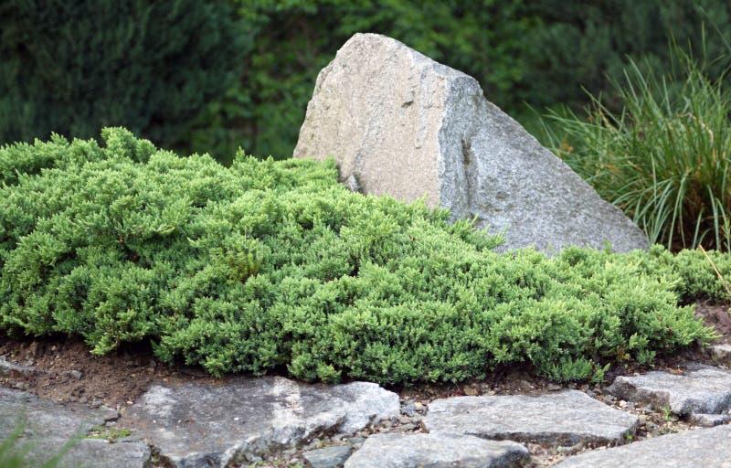Creeping juniper. Juniperus horizontalis (Creeping Juniper or Creeping cedar) is a low-growing shrubby juniper royalty free stock images