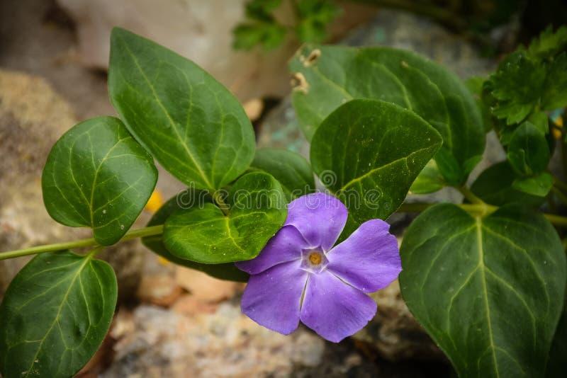 Creeping Myrtle Vinca minor. Purple Bloom Detail stock photo