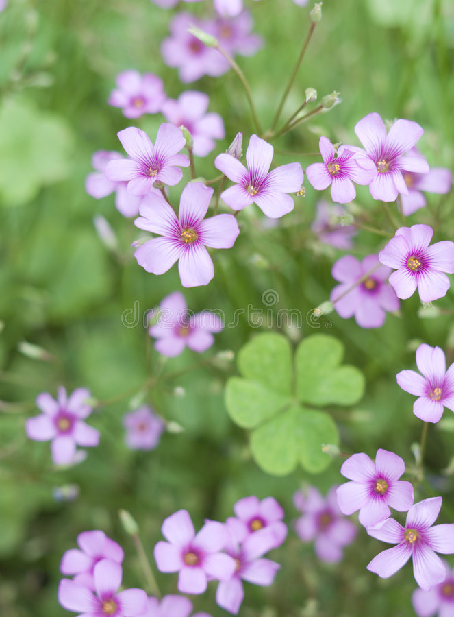 Creeping Oxalis. Clover-leaf and pink little flowers stock image