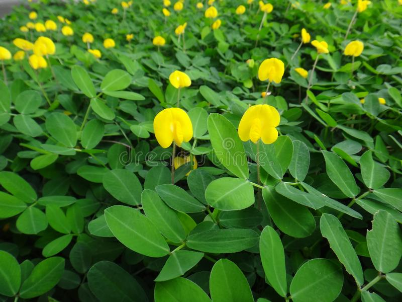 Plant of the creeping peanut with small yellow flowers stock photo download plant of the creeping peanut with small yellow flowers stock photo image of fabaceae mightylinksfo