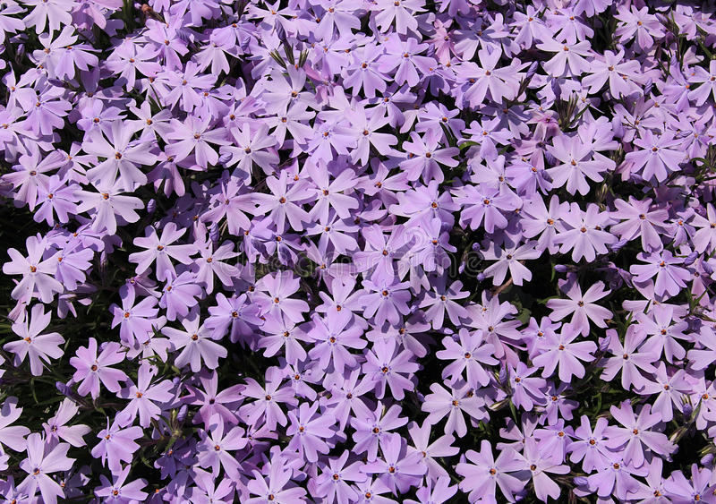 creeping phlox flower background stock photo image of subulata garden 31177432. Black Bedroom Furniture Sets. Home Design Ideas