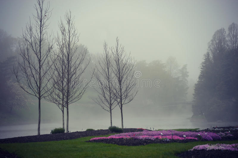Creeping Phlox Flower Gardens Foggy. Flower gardens with purple and pink creeping phlox at the Chicago Botanic Gardens in Glencoe, Illinois on a foggy, misty day royalty free stock image