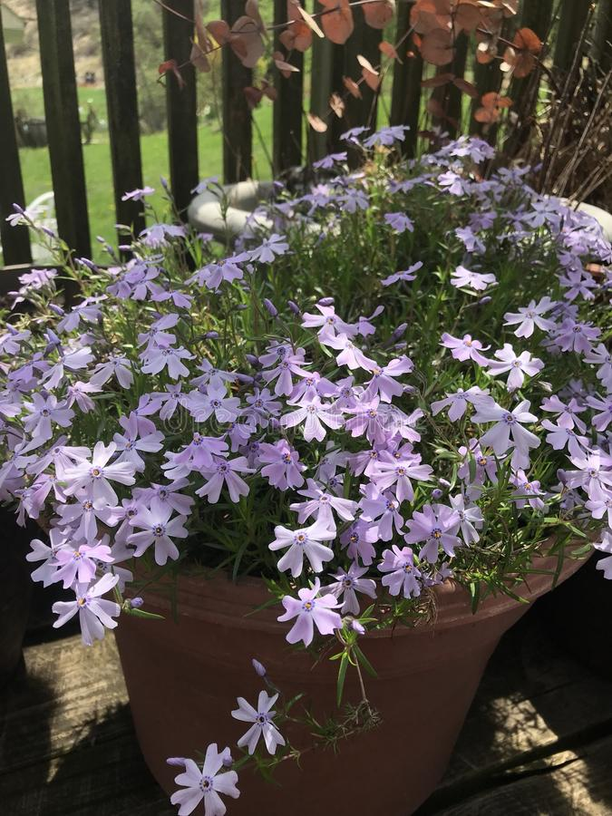 Creeping phlox stolonifera. Creeping phlox growing it's lovely little lilac purple flowers every Spring. It looks gorgeous as a prolific spreading stock photo