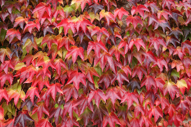 Creeping Plant With Red Leaves Stock Photography