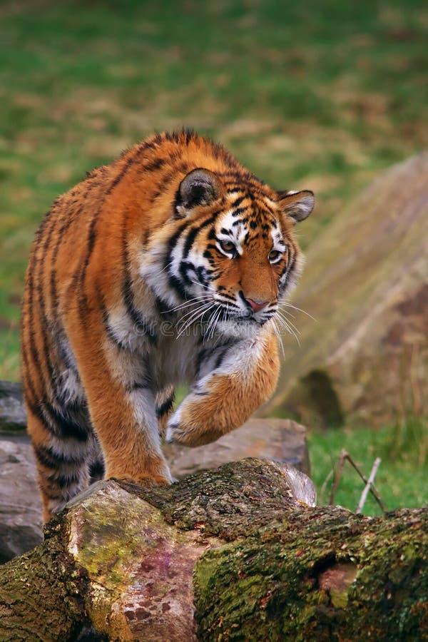 Creeping Siberian tiger stock images
