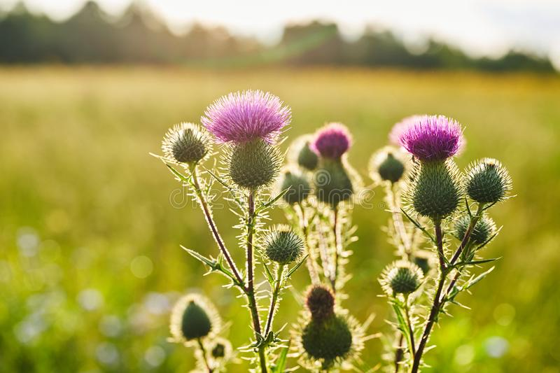 Creeping Thistle blooming in summer, Cirsium arvense.  royalty free stock image