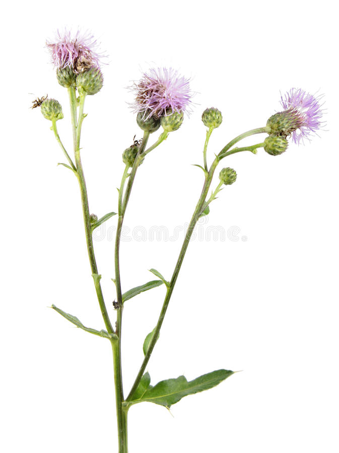 Creeping thistle or Cirsium arvense flowers isolated on white background. Medicinal and invasive plant. Isolated on white background royalty free stock photo