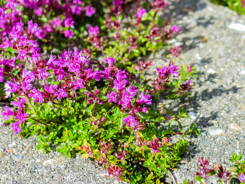 Creeping Thyme. Plants of Creeping Thyme with purple flowers in garden in summer stock images